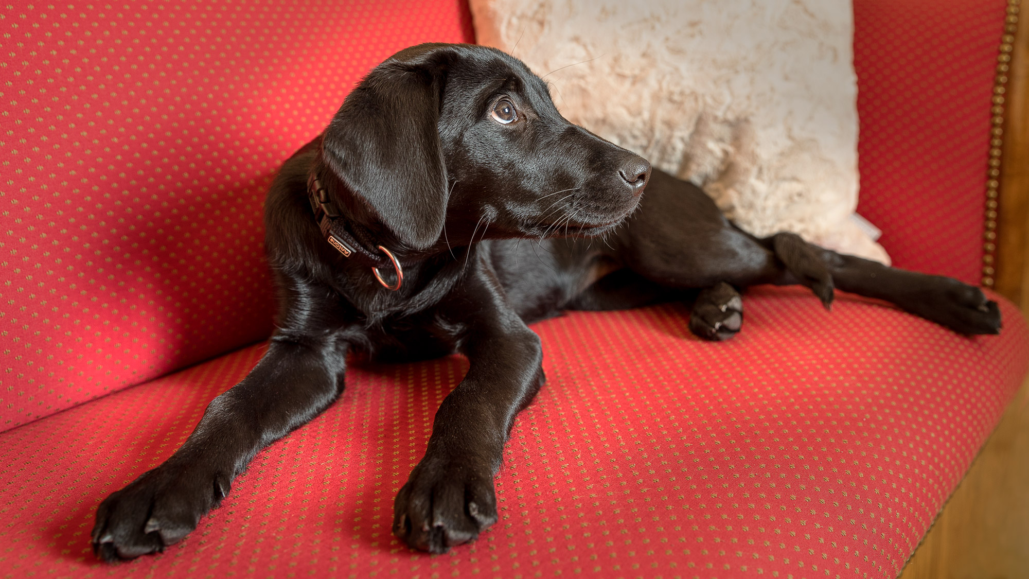 Chelsea Labrador Welpe Home Shooting