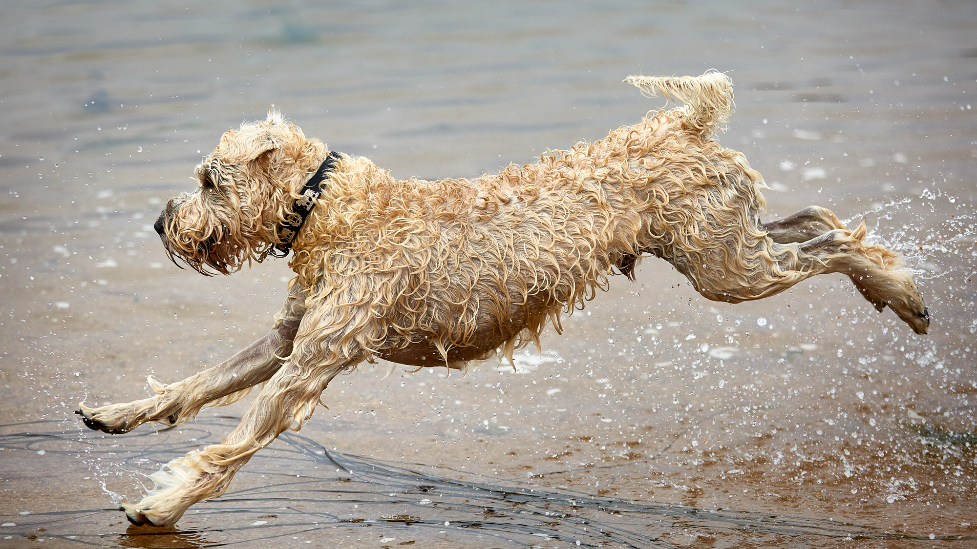 Soft Coated Irish Wheaten Terrier Kenzo Action Shooting Wasser