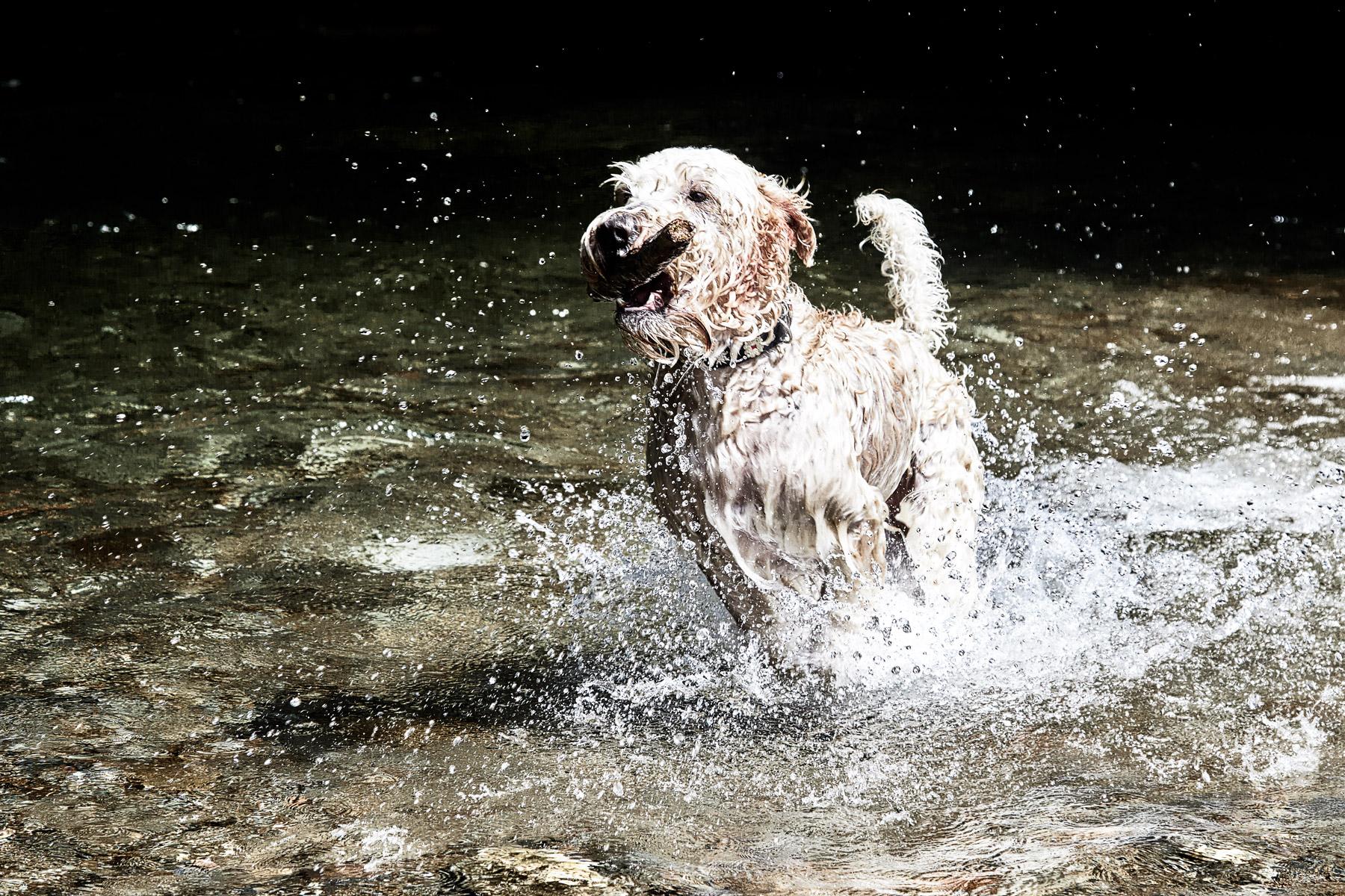 Soft Coated Irish Wheaten Terrier Kenzo Action Shooting Wasser