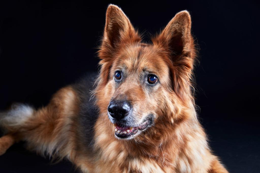 Achat Schäferhund