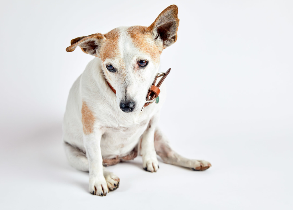 Lilly Jack Russel